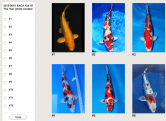 2015-2016 AKCA Koi Of The Year photo contest